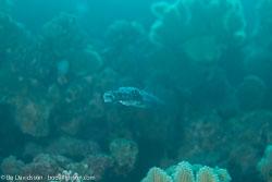 BD-121128-Aqaba-7428-Fistularia-commersonii.-Rüppell.-1838-[Bluespotted-cornetfish].jpg